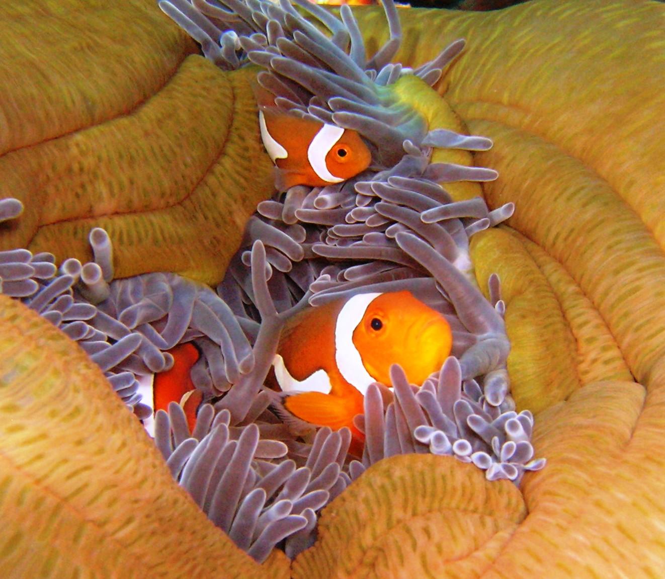 anemone-fish-1