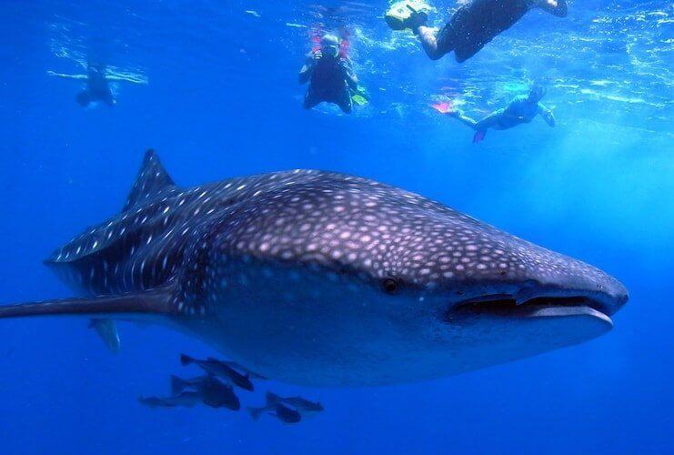 whale-shark-2
